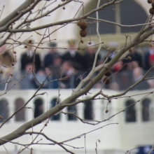 Cherry Blossoms, dormant in the January weather, while in the background a president renews his term with a speech.